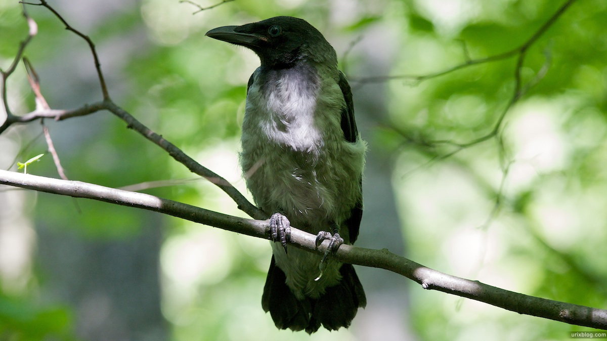 2009 Битцевскийлесопарк природа ворона Москва
