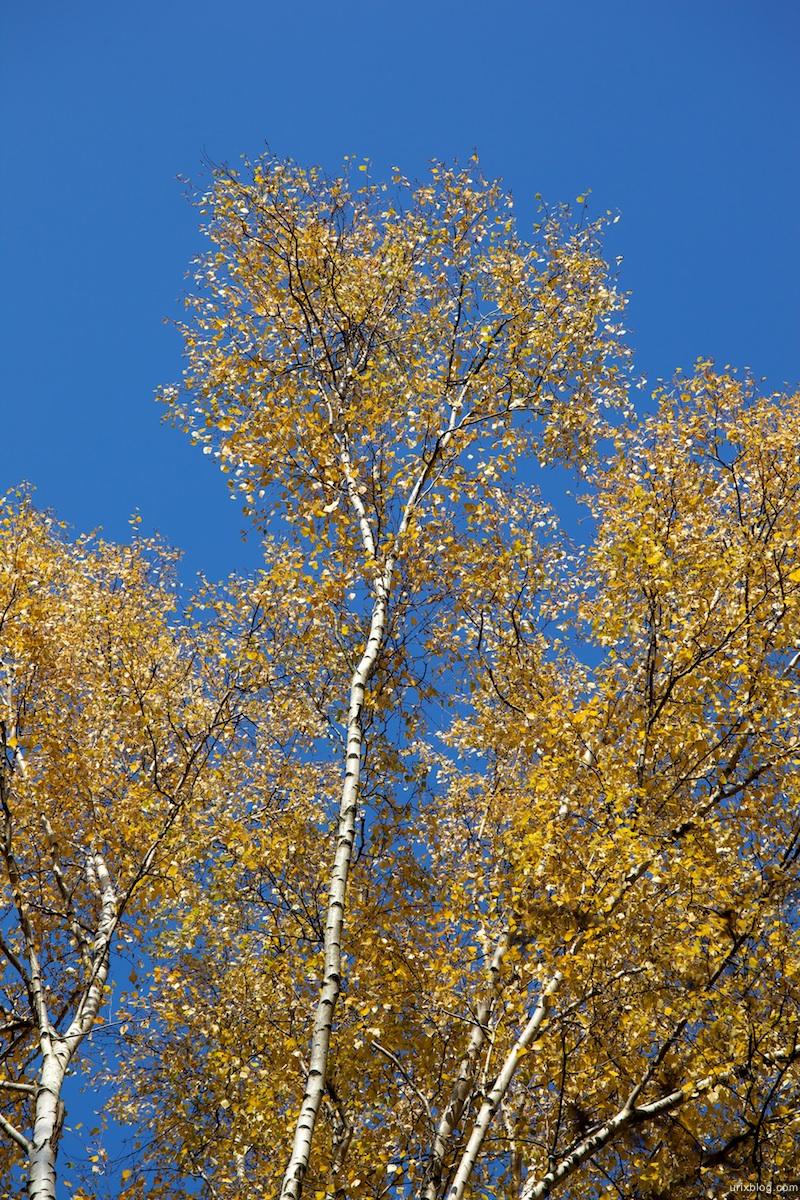 2009 Москва Царицыно парк жёлтые листья берёза осень
