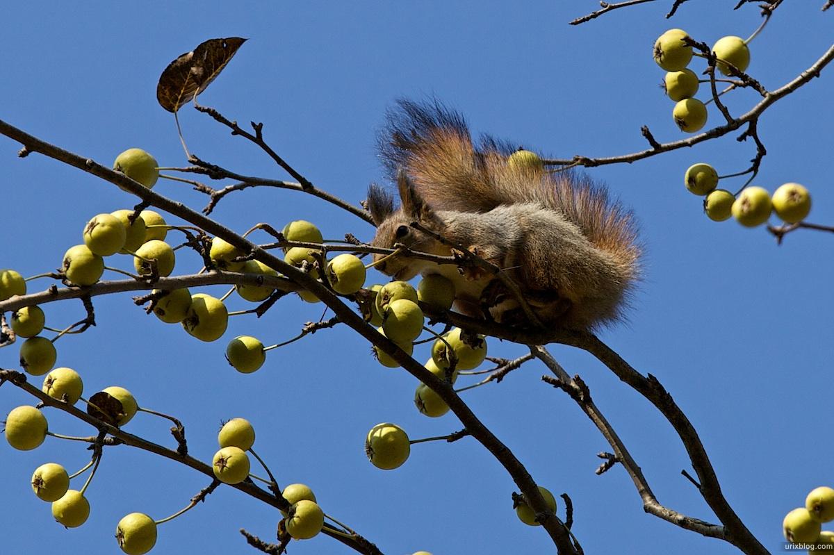 2009 Москва Царицыно парк белка яблоки осень