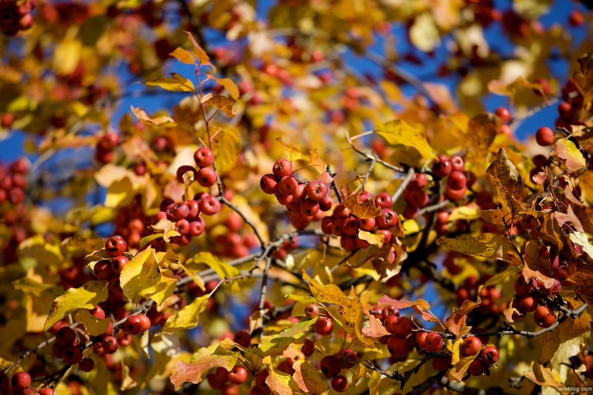 2009 Москва Царицыно парк жёлтые листья яблоки осень