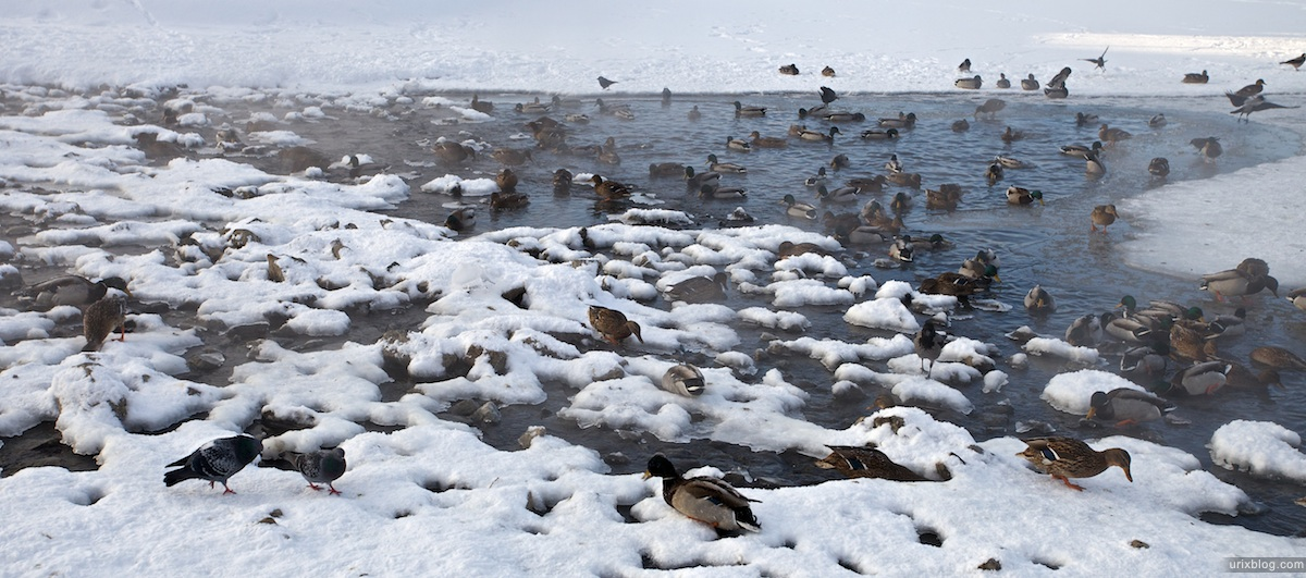 2010 парк Царицыно зима снег, утки, Москва