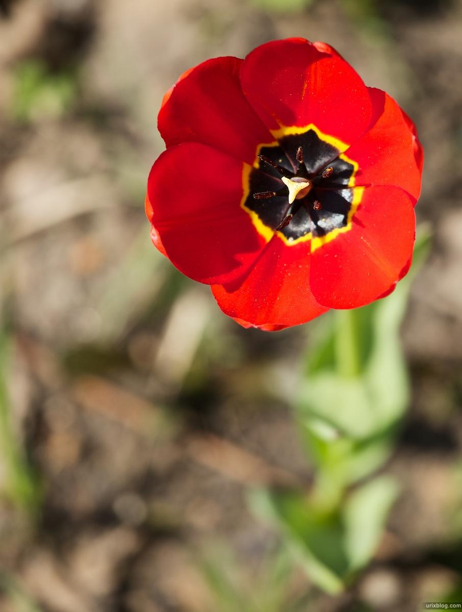 2010, Tulips spring Moscow Москва весна тюльпаны
