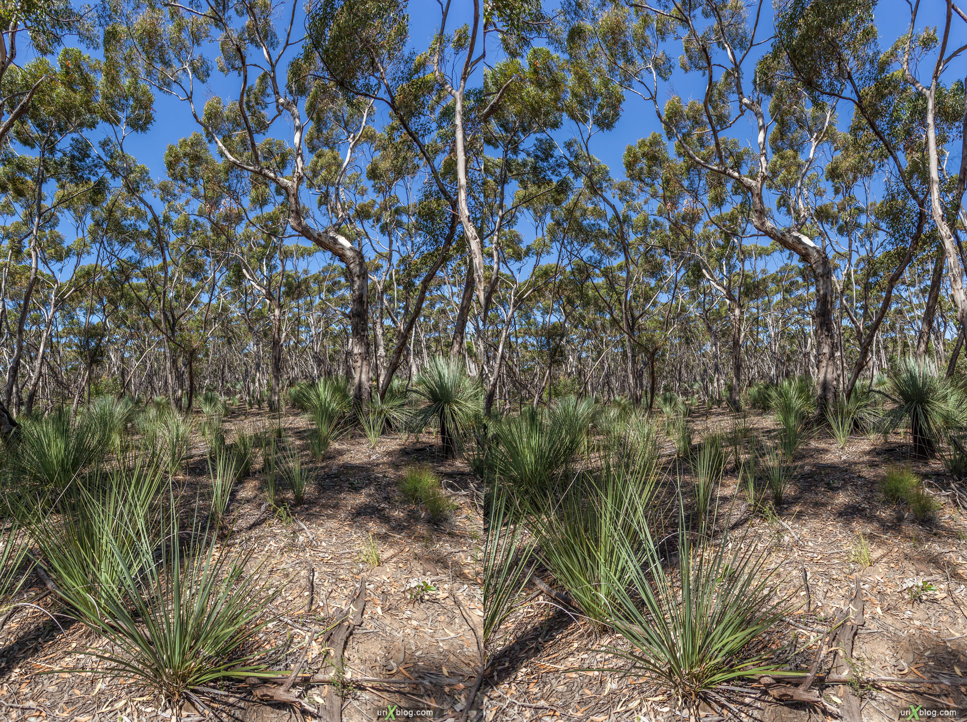 forest, Flinders Chase National Park, Kangaroo Island, Australia, 3D, stereo pair, cross-eyed, crossview, cross view stereo pair, stereoscopic, 2011