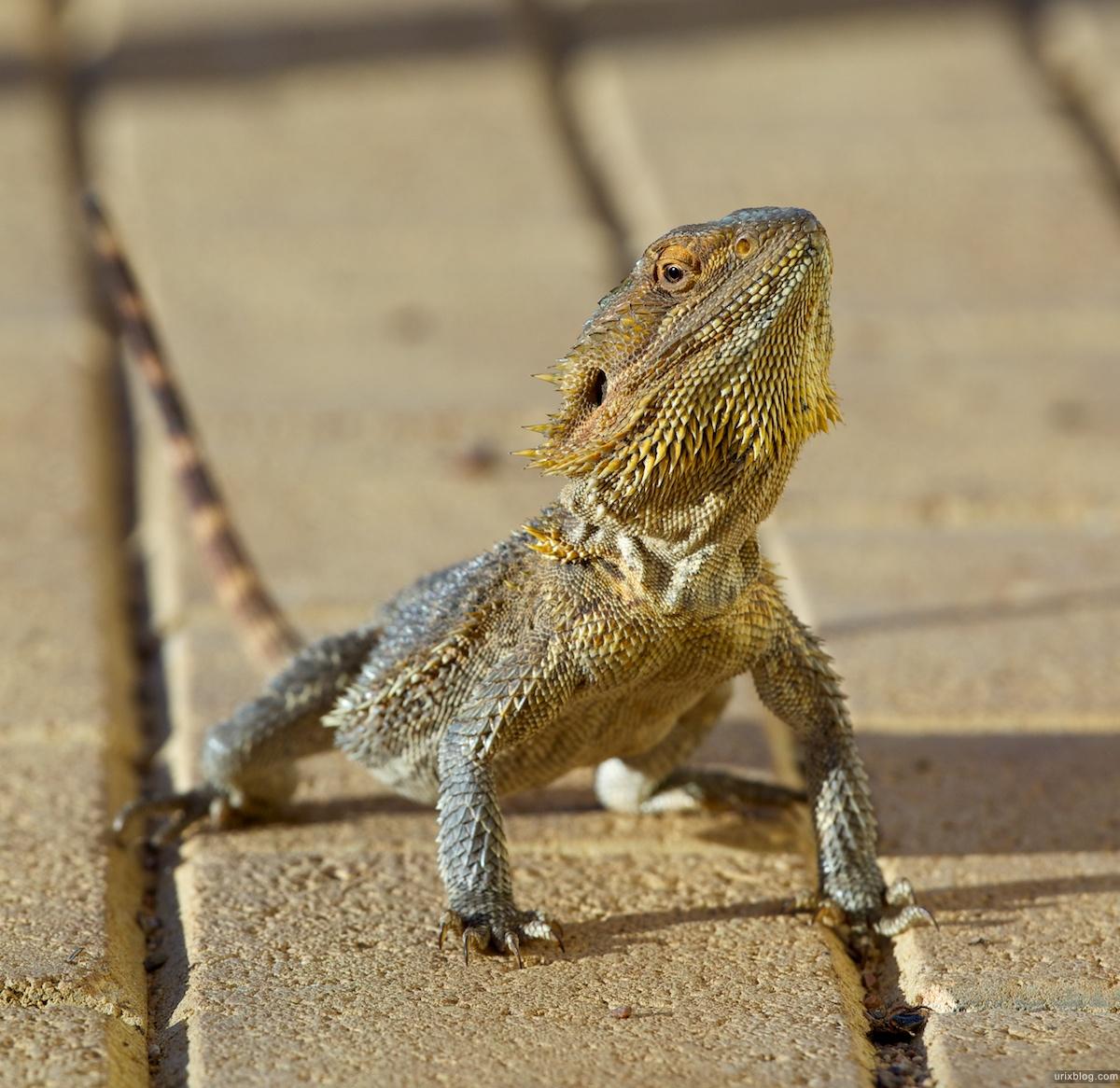 2010 большая Ящерица South Australia