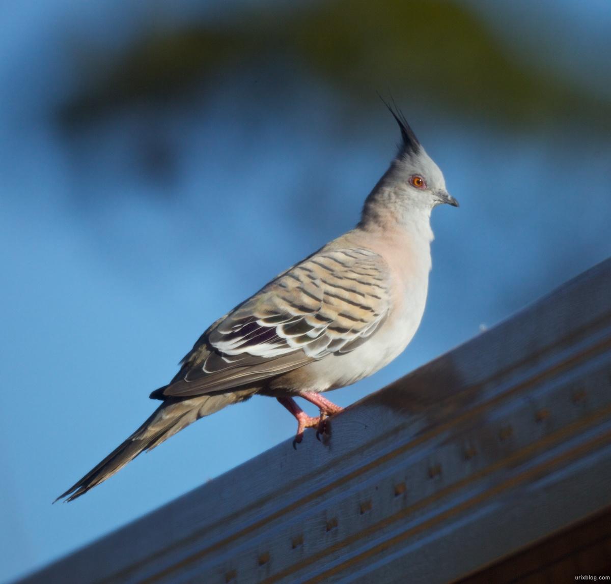 2010 птичка South Australia