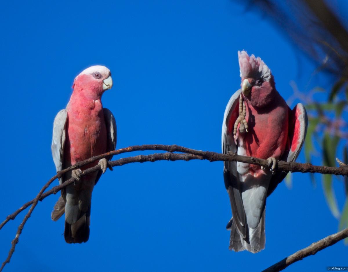 2010 попугаи, South Australia