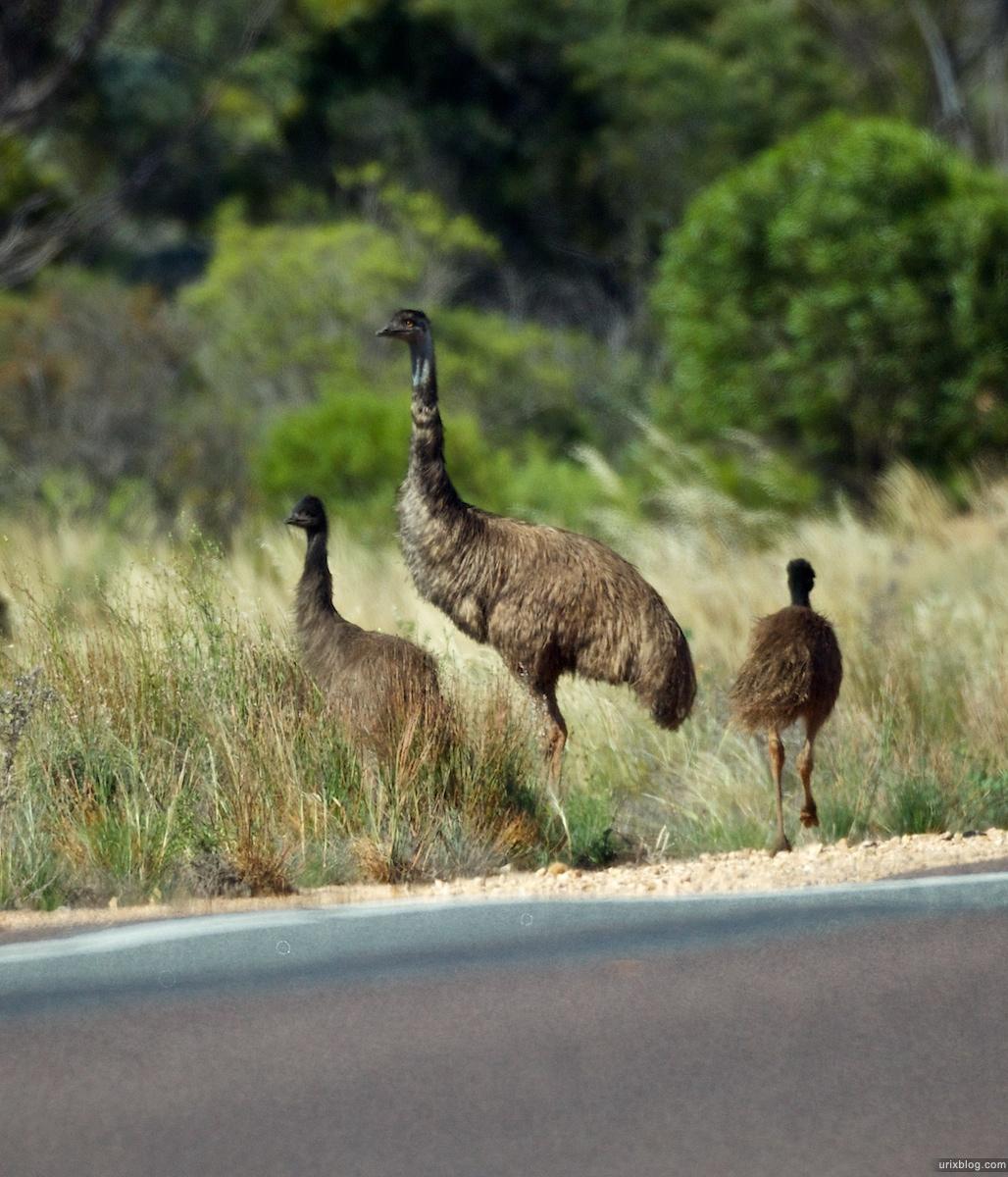 2010 страусы South Australia