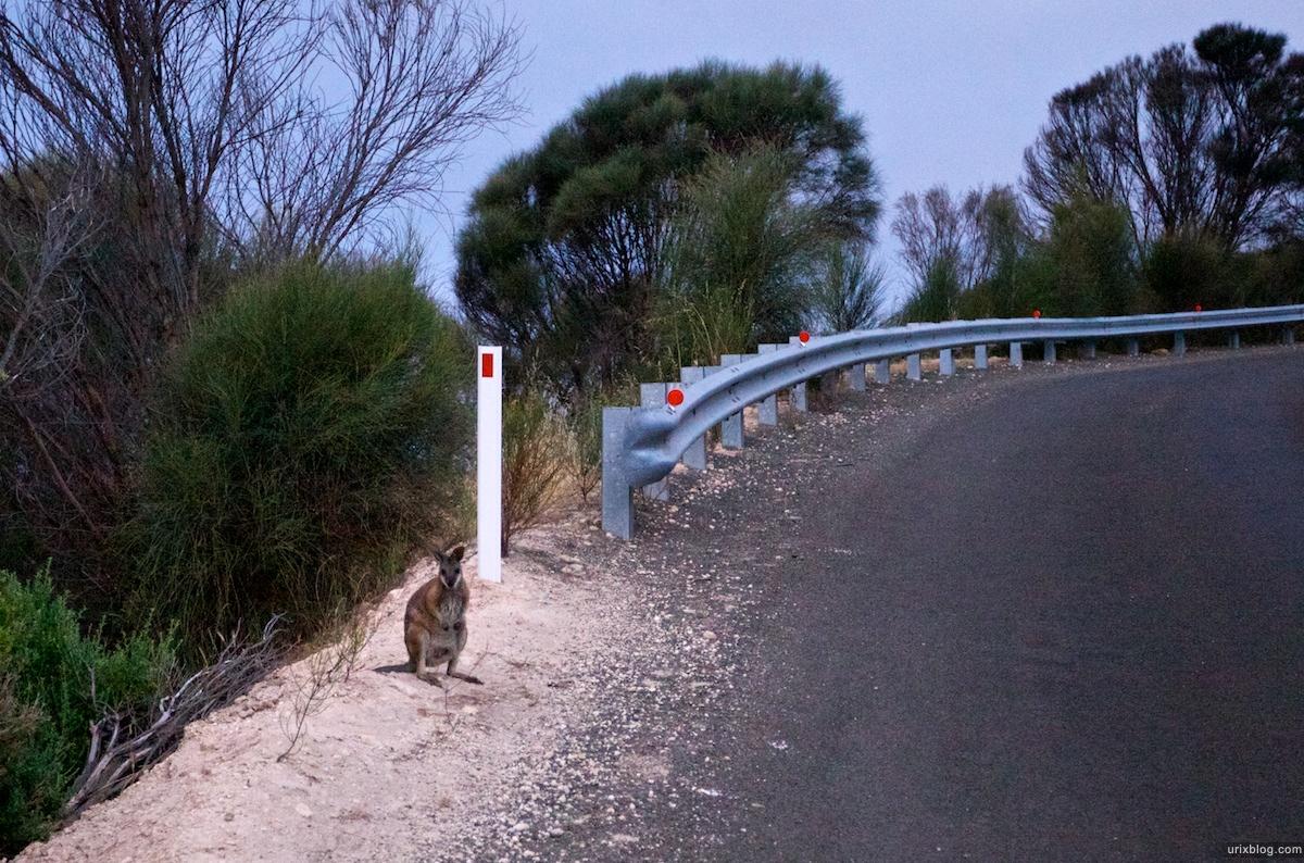 2011 2010 South Australia, Kangaroo Island, Остров Кенгуру, Южная Австралия, Penneshaw, kangaroo, кенгуру