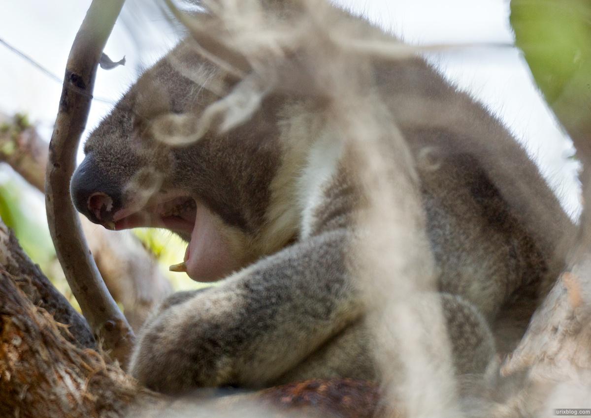 2011 2010 South Australia, Kangaroo Island, Остров Кенгуру, Южная Австралия, koala, коала