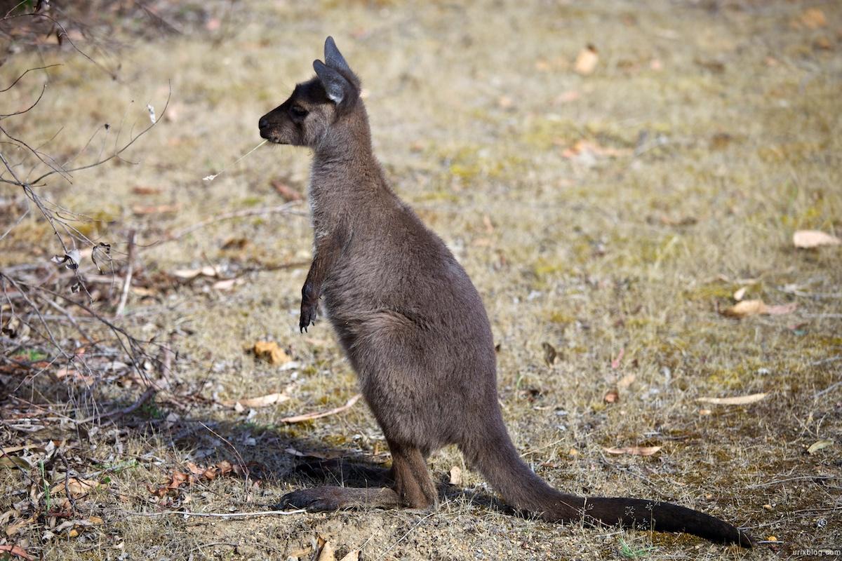 2011 2010 South Australia, Kangaroo Island, Остров Кенгуру, Южная Австралия, kangaroo, кенгуру