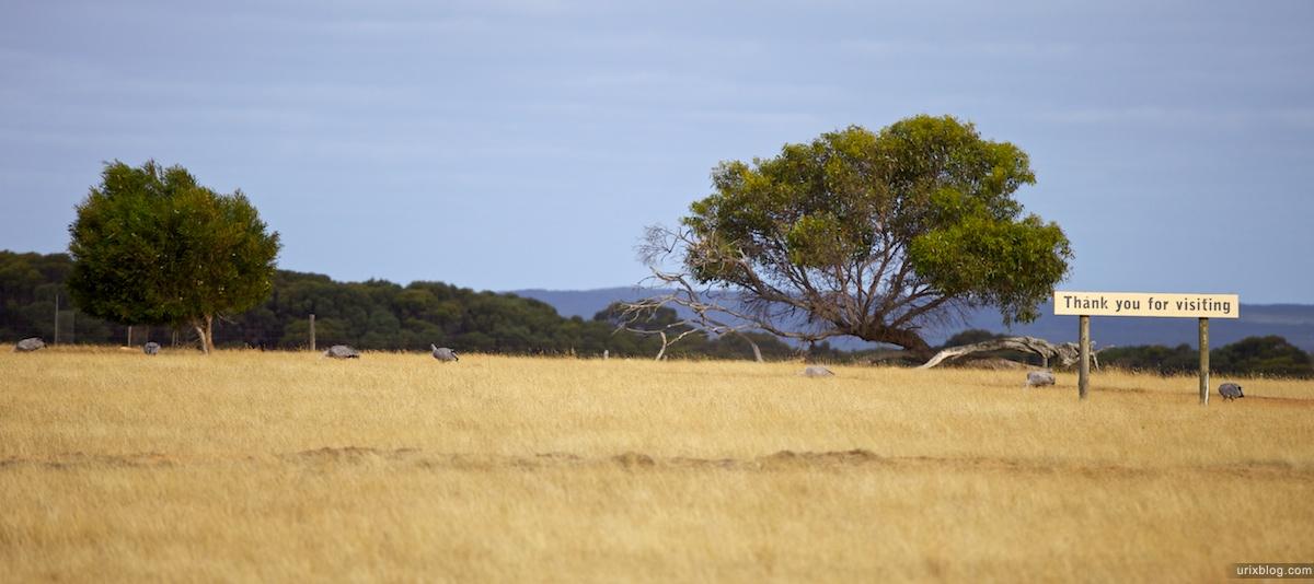 2011 2010 South Australia, Kangaroo Island, Остров Кенгуру, Южная Австралия, geese, гуси