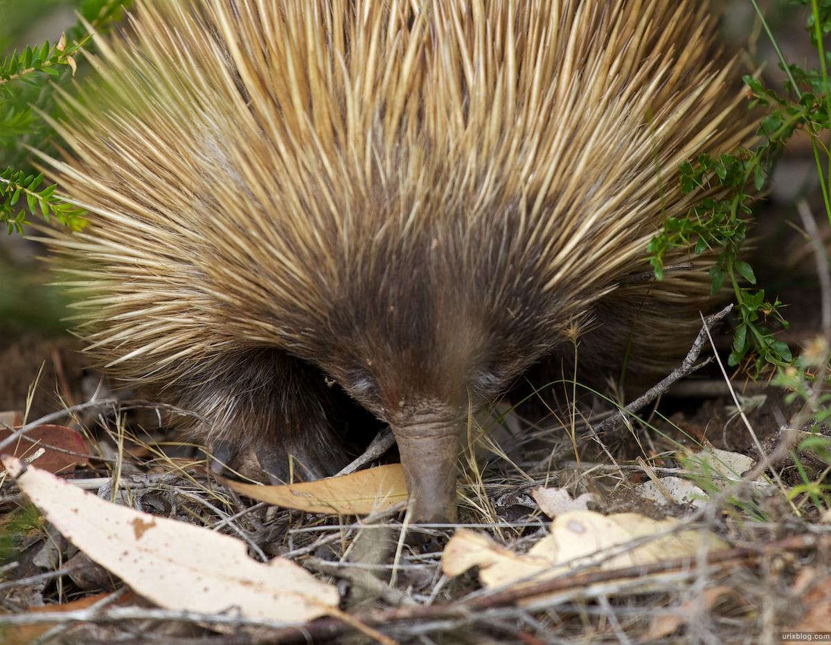 2011 2010 South Australia, Kangaroo Island, Остров Кенгуру, Южная Австралия, Flinders Chase, kamping, кемпинг, echidna, ехидна