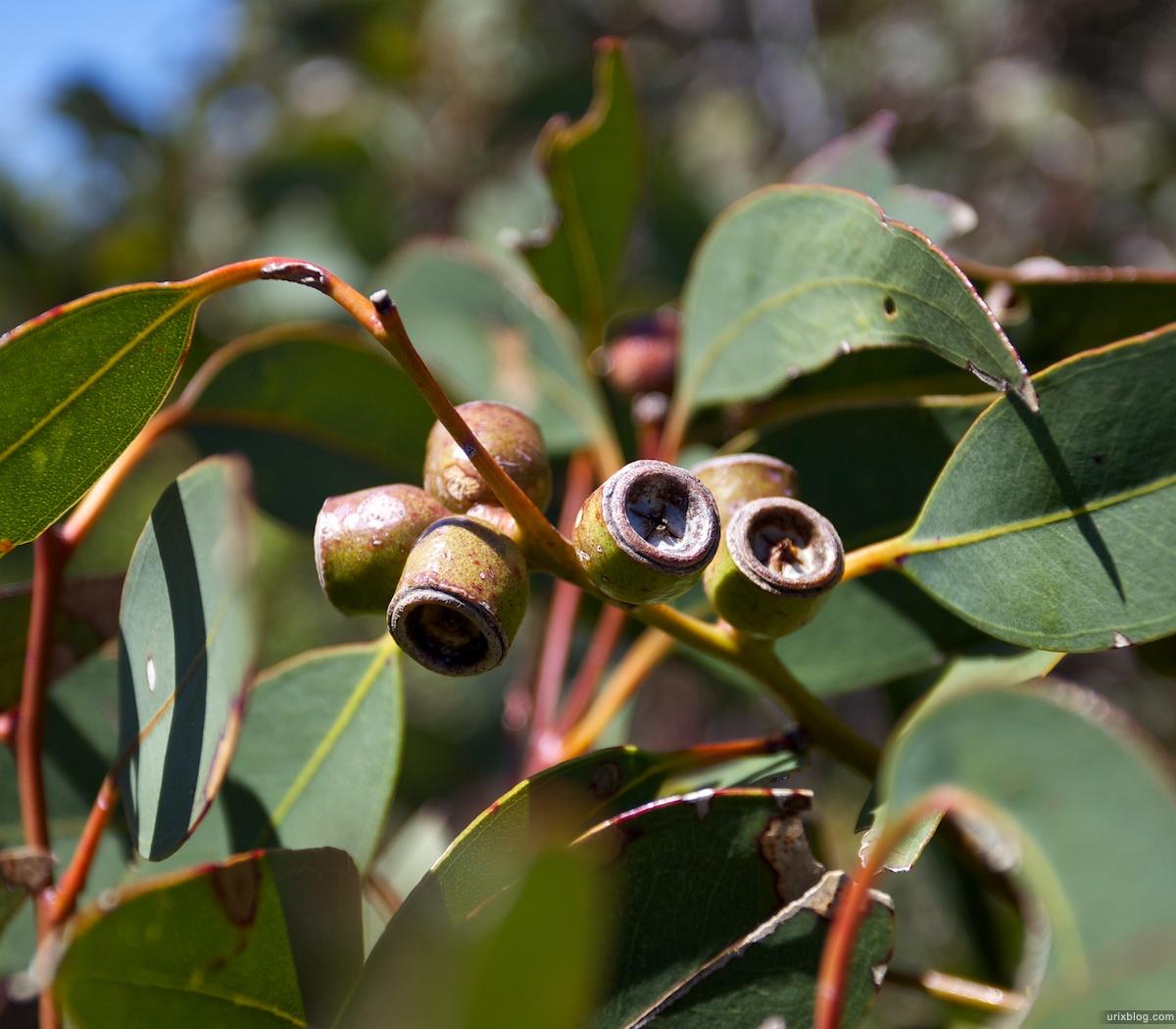 2011 South Australia, Kangaroo Island, Остров Кенгуру, Южная Австралия, Flinders Chase, plant, растение