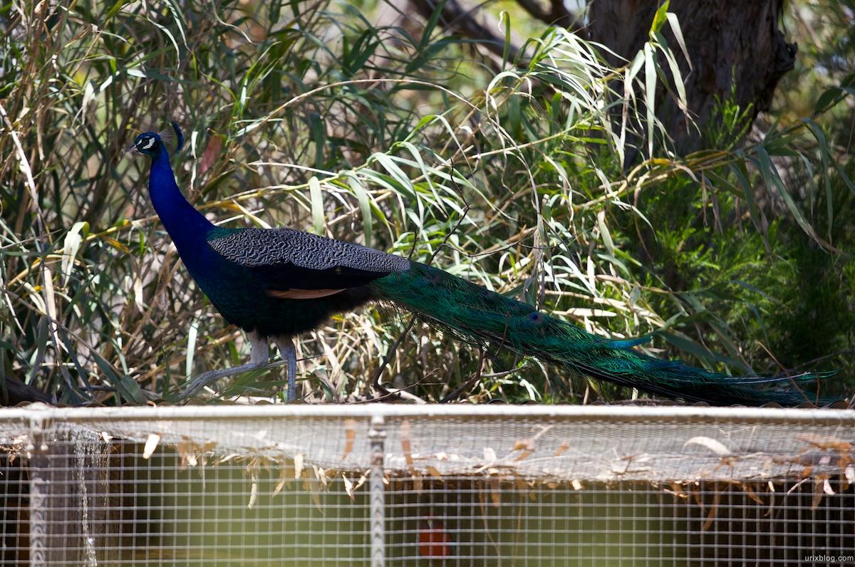 2011 South Australia, Kangaroo Island, Остров Кенгуру, Южная Австралия, Parndana Wildlife Park, павлин, peacock