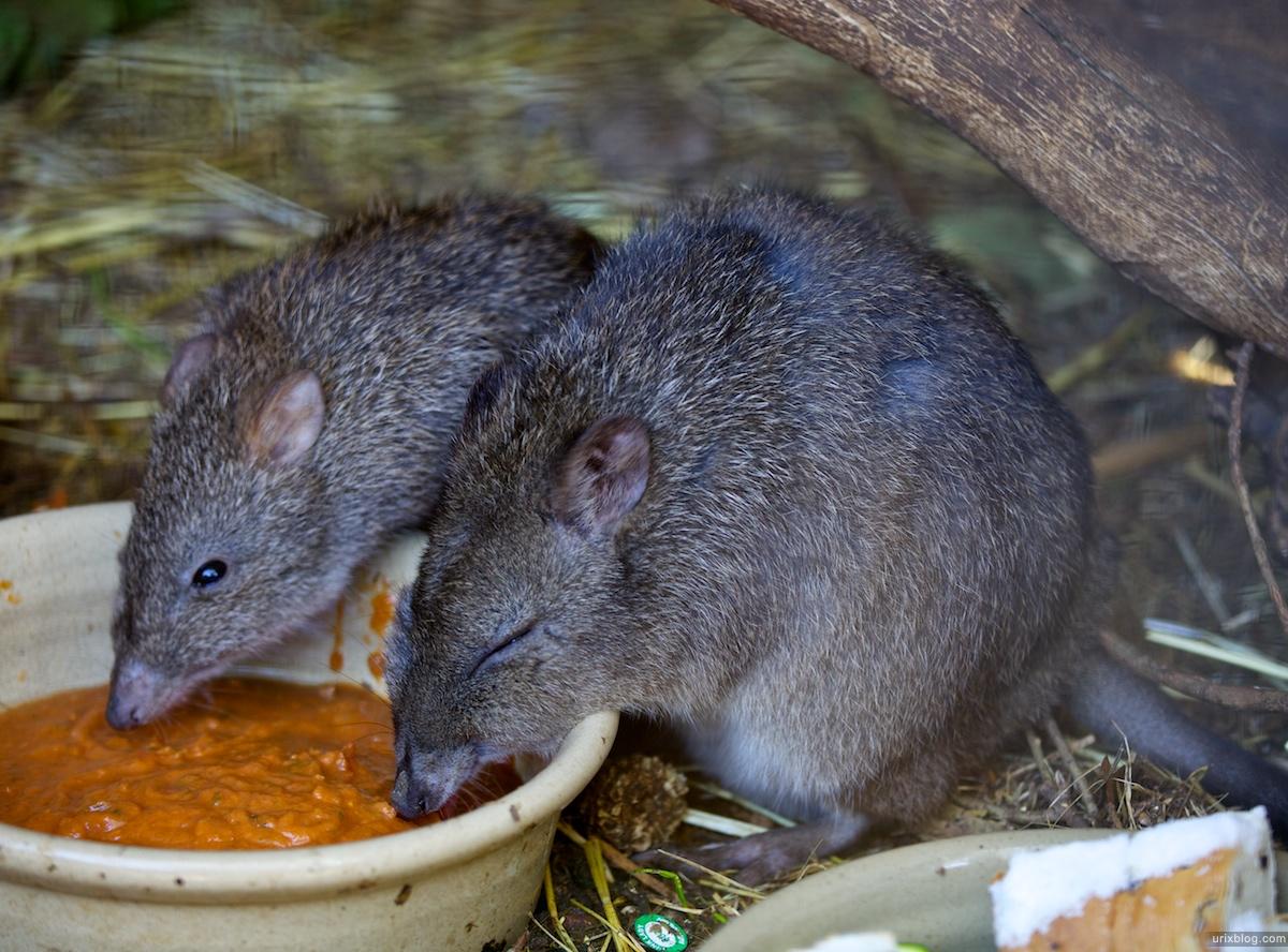 2011 South Australia, Kangaroo Island, Остров Кенгуру, Южная Австралия, Parndana Wildlife Park, ruts, крысы
