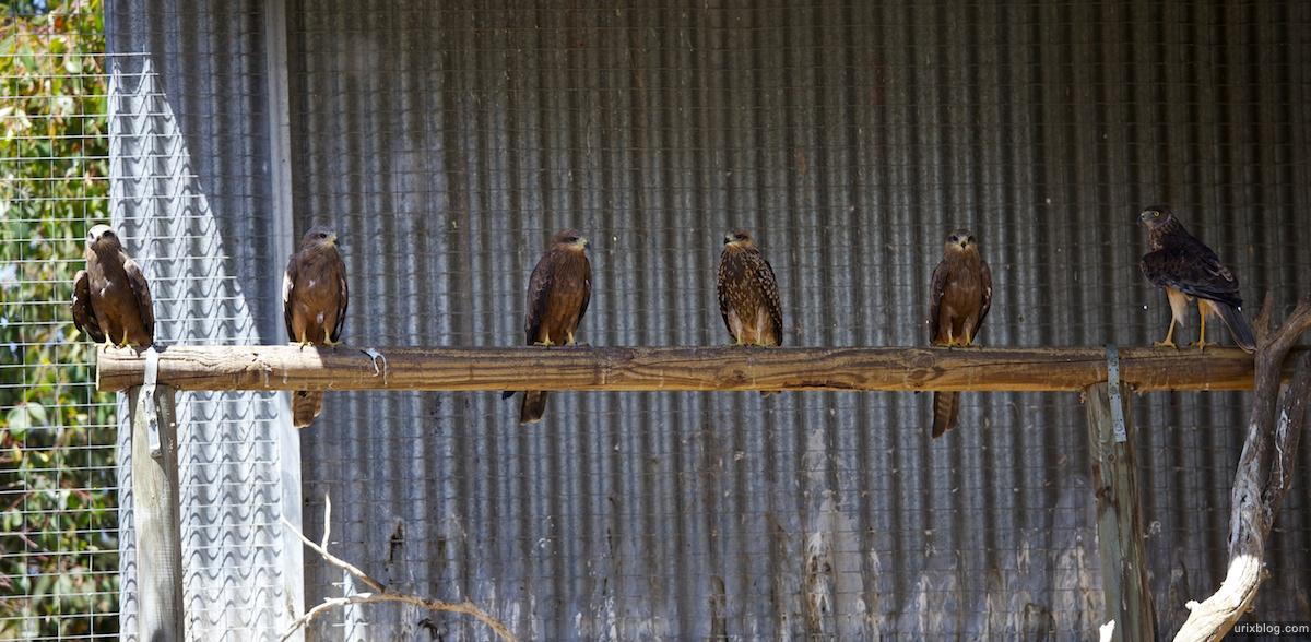 2011 South Australia, Kangaroo Island, Остров Кенгуру, Южная Австралия, Parndana Wildlife Park, eagle, орёл