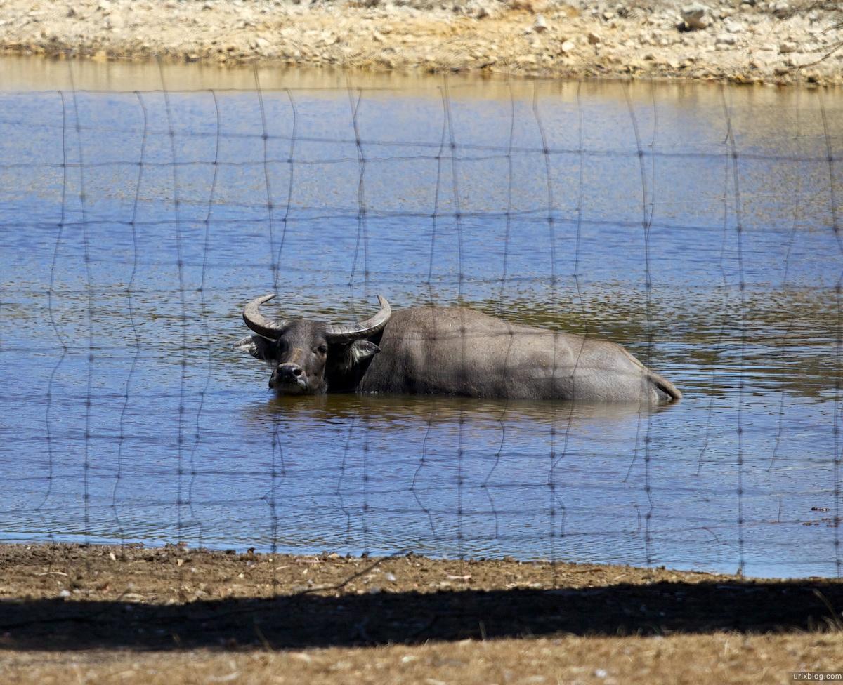 2011 South Australia, Kangaroo Island, Остров Кенгуру, Южная Австралия, Parndana Wildlife Park, буйвол, buffalo