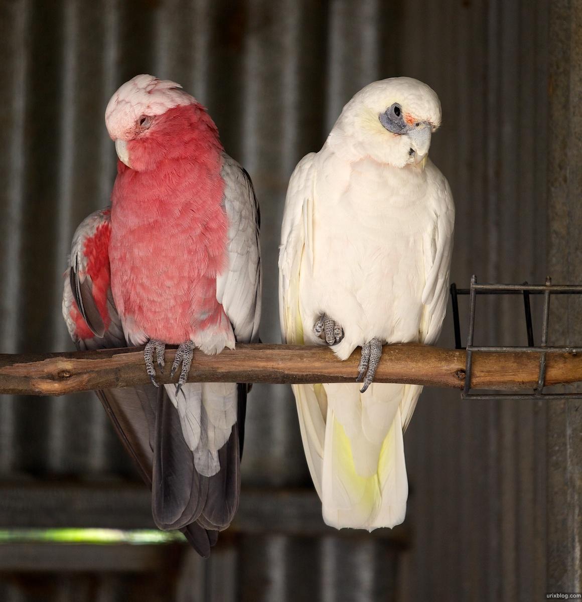 2011 South Australia, Kangaroo Island, Остров Кенгуру, Южная Австралия, Parndana Wildlife Park, parrot, попугай