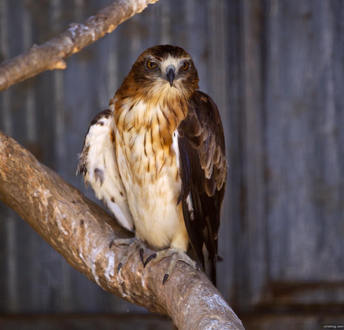 2011 South Australia, Kangaroo Island, Остров Кенгуру, Южная Австралия, Parndana Wildlife Park, орёл, eagle