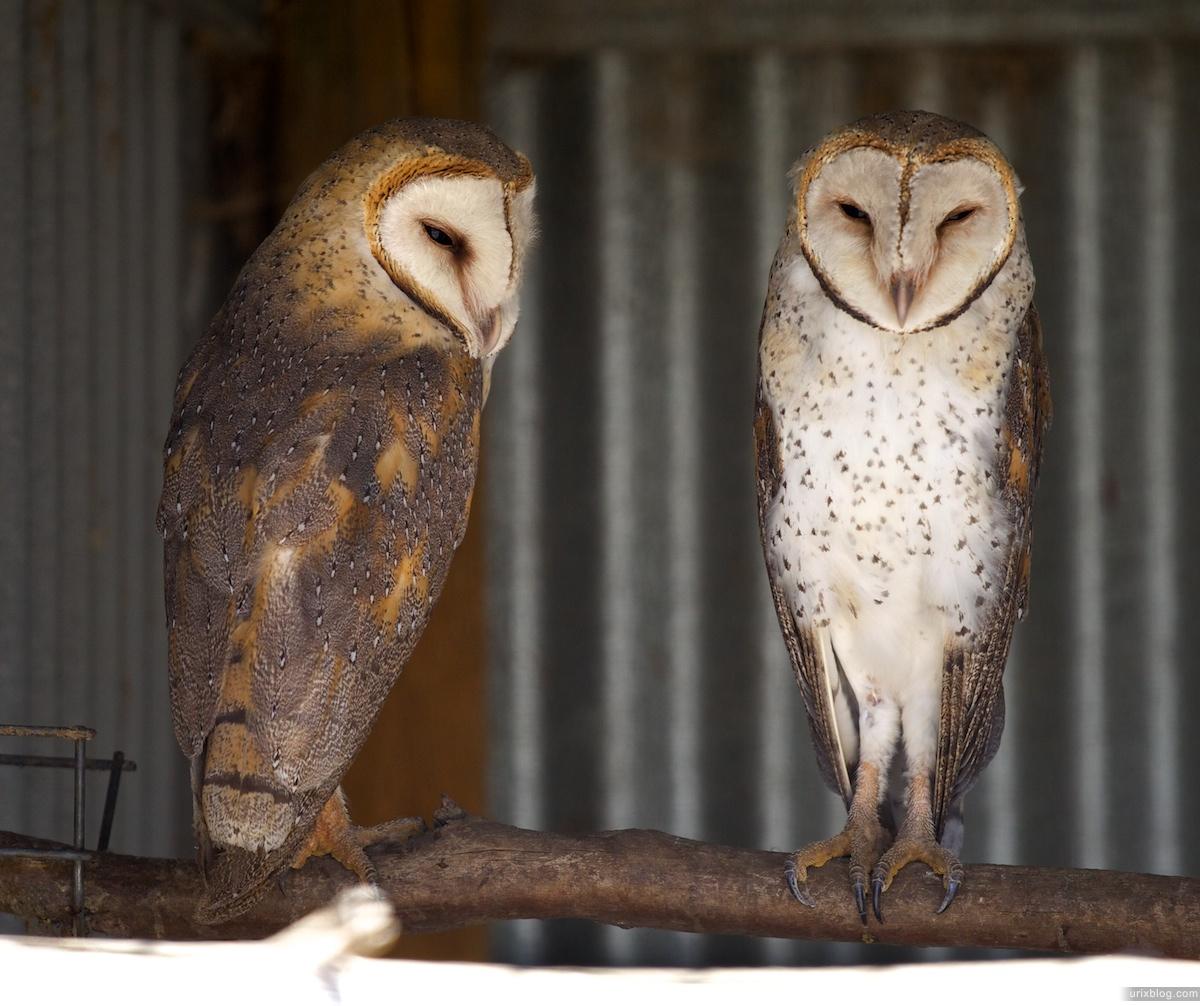 2011 South Australia, Kangaroo Island, Остров Кенгуру, Южная Австралия, Parndana Wildlife Park, owl, сова
