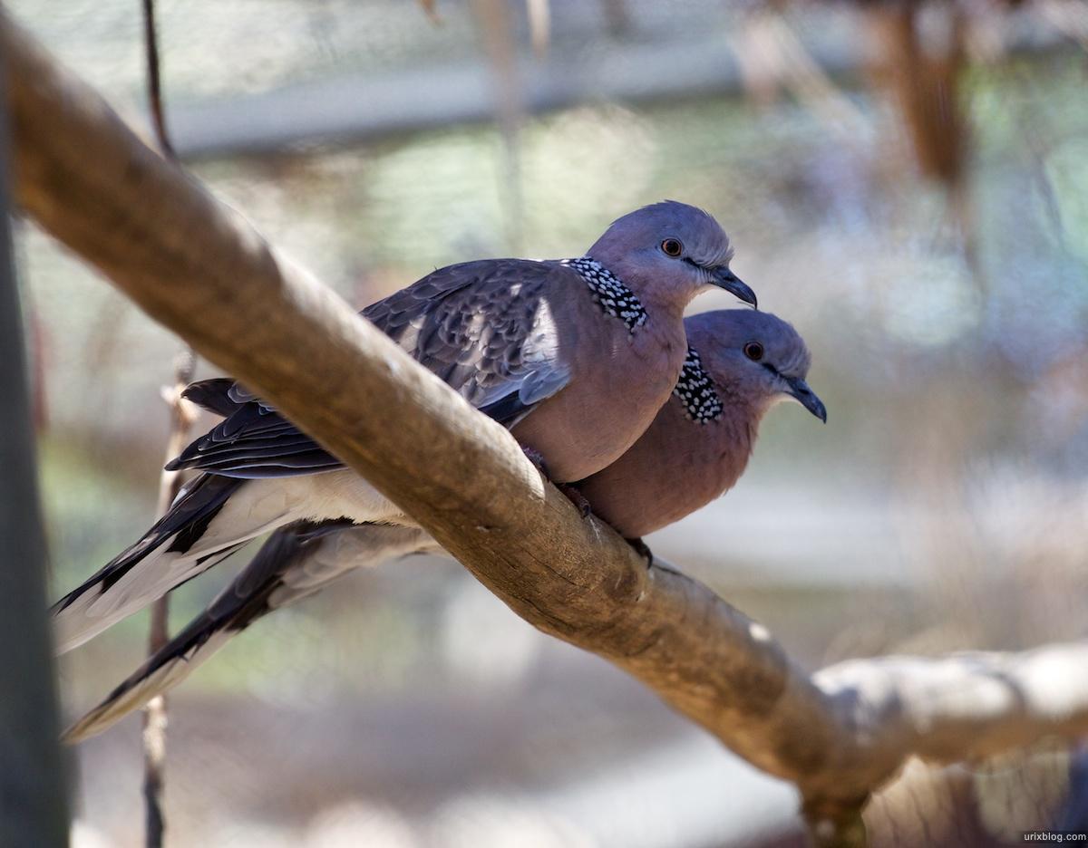 2011 South Australia, Kangaroo Island, Остров Кенгуру, Южная Австралия, Parndana Wildlife Park, pigeons, голуби