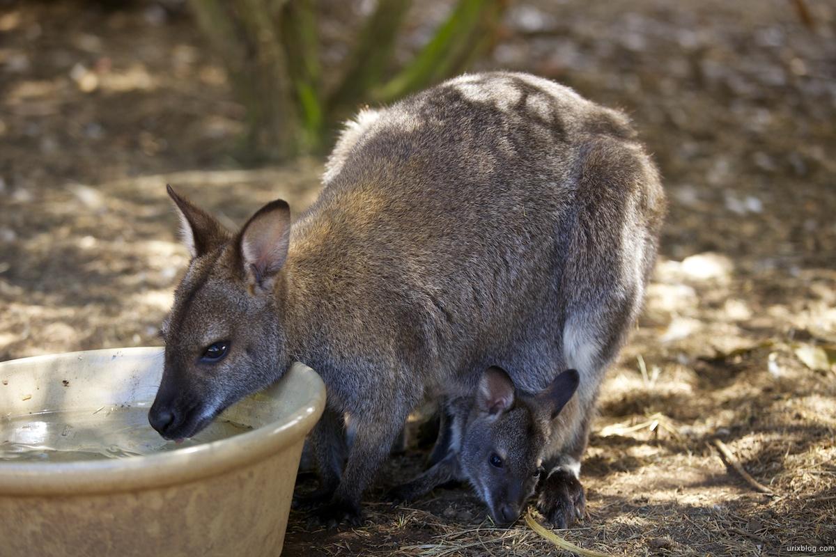 2011 South Australia, Kangaroo Island, Остров Кенгуру, Южная Австралия, Parndana Wildlife Park, kangaroo, кенгуру