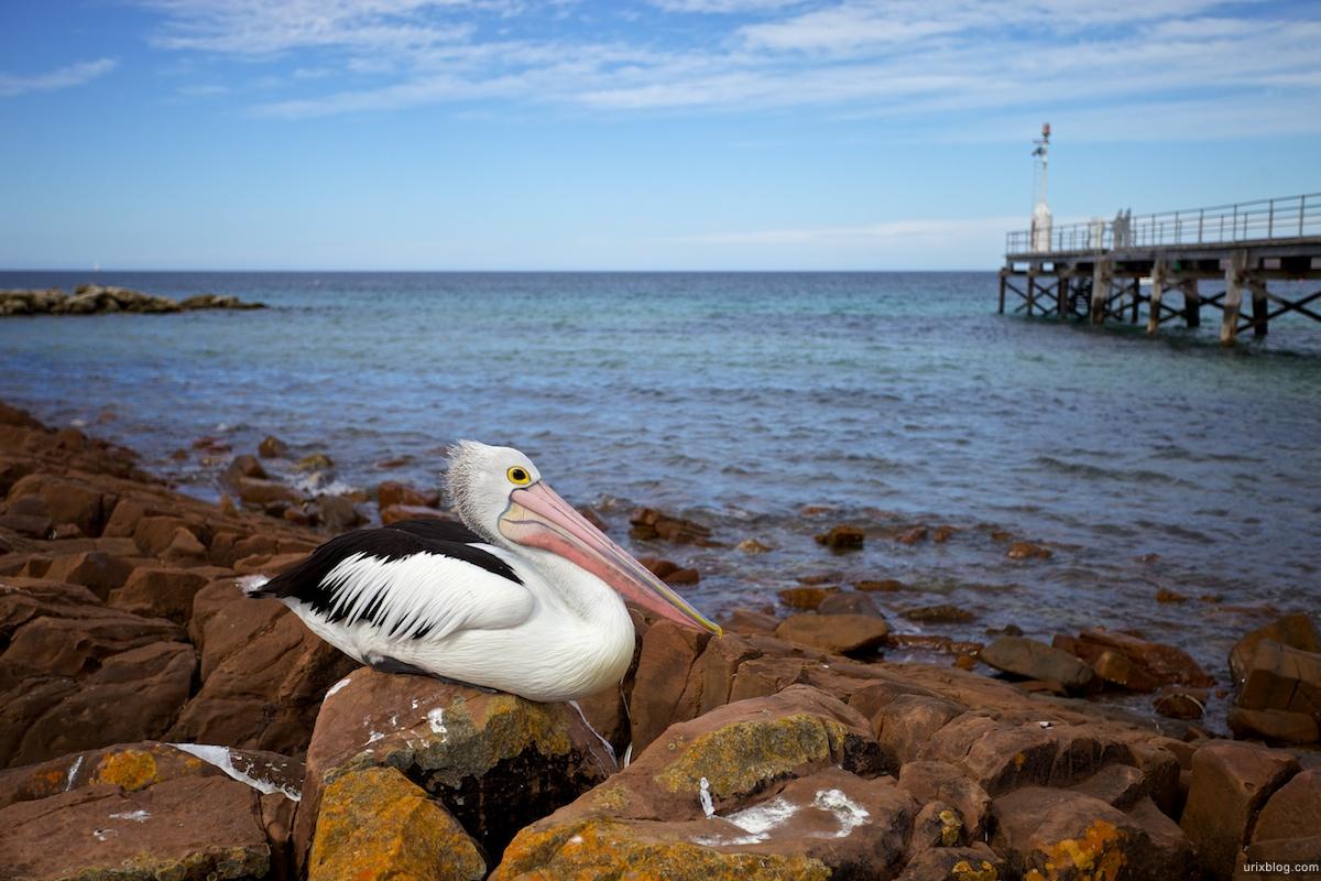 2011 South Australia, Kangaroo Island, Остров Кенгуру, Южная Австралия, Emu Bay, Pelican, Пеликан