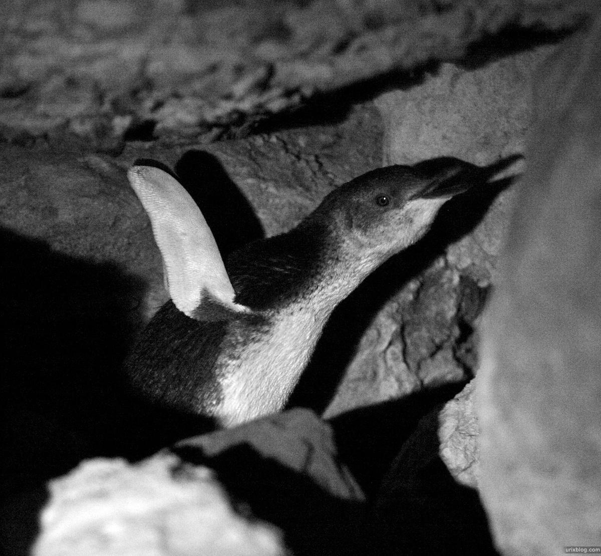 2011 South Australia, Kangaroo Island, Остров Кенгуру, Южная Австралия, Kingscote, penguin, пингвин