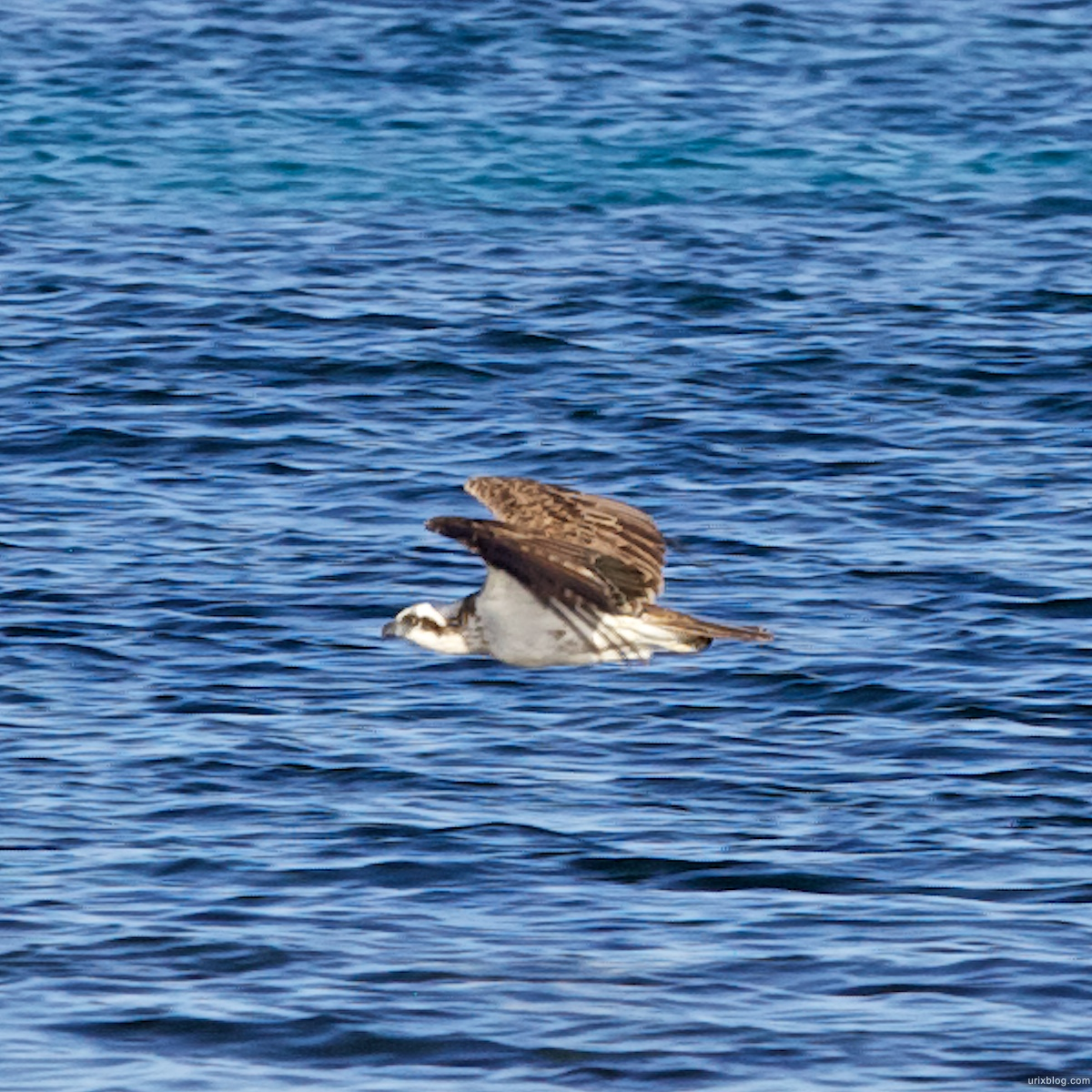 2011 2010 South Australia, Kangaroo Island, Остров Кенгуру, Южная Австралия, Vivonne Bay, bird, птичка