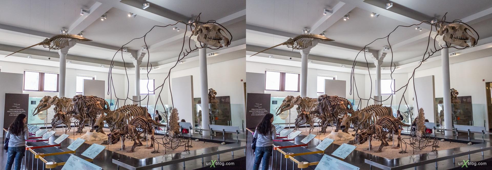 2013, American Museum of Natural History, NYC, New York City, USA, animal, dinosaur, skeleton, 3D, stereo pair, cross-eyed, crossview, cross view stereo pair, stereoscopic