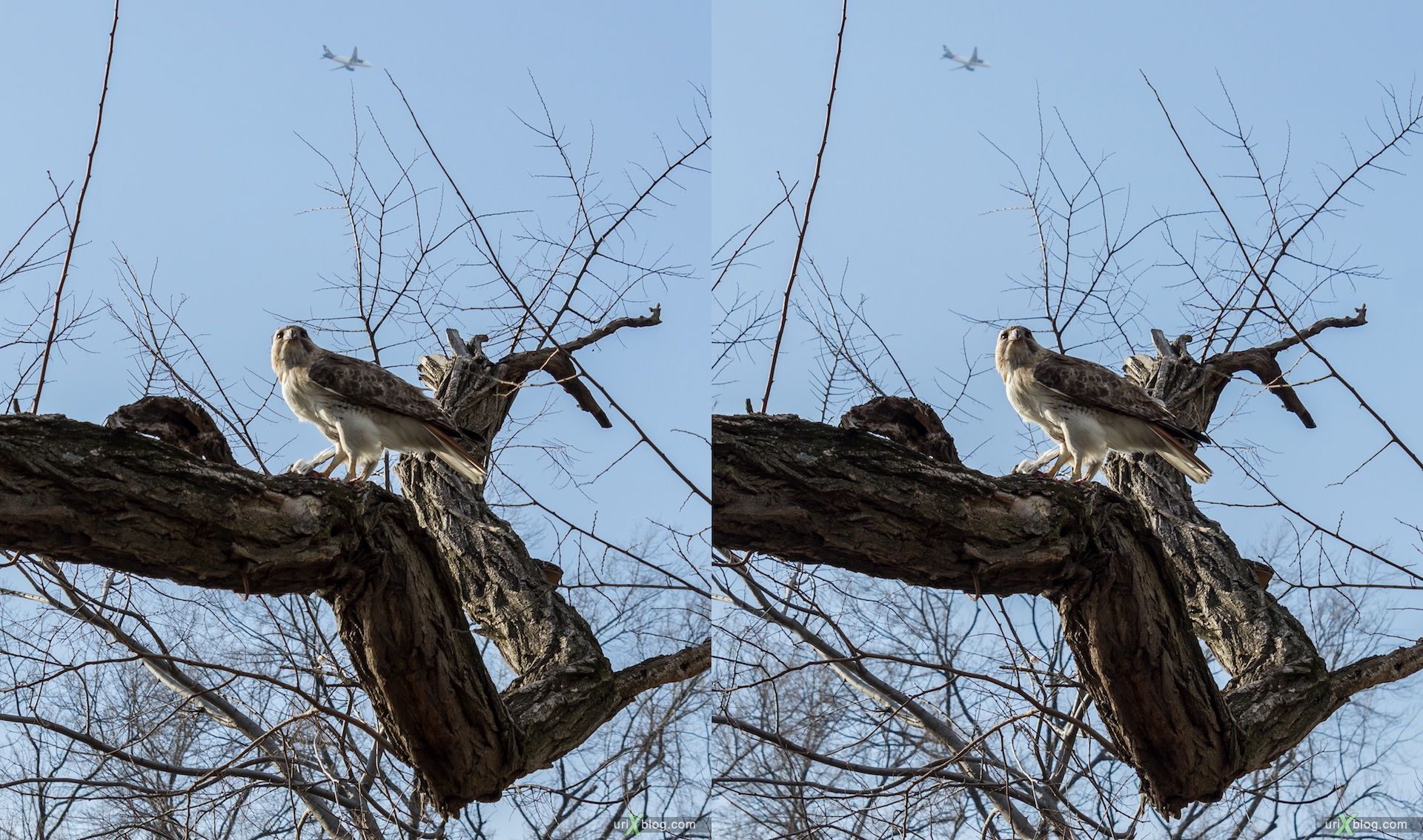 2013, Краснохвостый ястреб, сарыч, птица, орёл, Нью Йорк, Манхеттен, США, 3D, перекрёстные стереопары, стерео, стереопара, стереопары