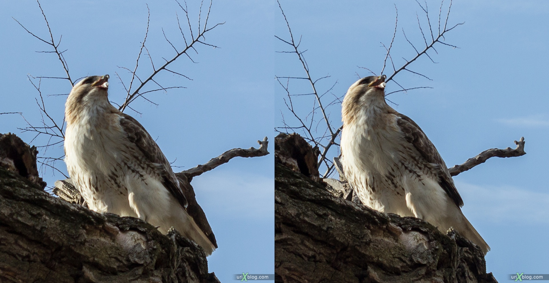 2013, red-tailed hawk, eagle, bird, NYC, New York, Manhattan, USA, 3D, stereo pair, cross-eyed, crossview, cross view stereo pair, stereoscopic