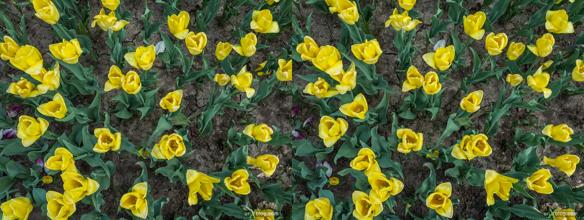 2013, yellow, red, Tulips, field, flower, grass, park, field, Moscow, Russia, spring, 3D, stereo pair, cross-eyed, crossview, cross view stereo pair, stereoscopic