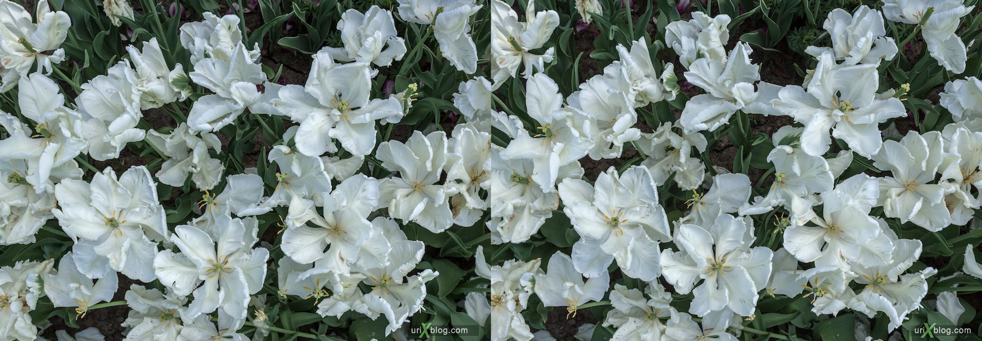 2013, white, tulips, field, flower, grass, park, field, Moscow, Russia, spring, 3D, stereo pair, cross-eyed, crossview, cross view stereo pair, stereoscopic