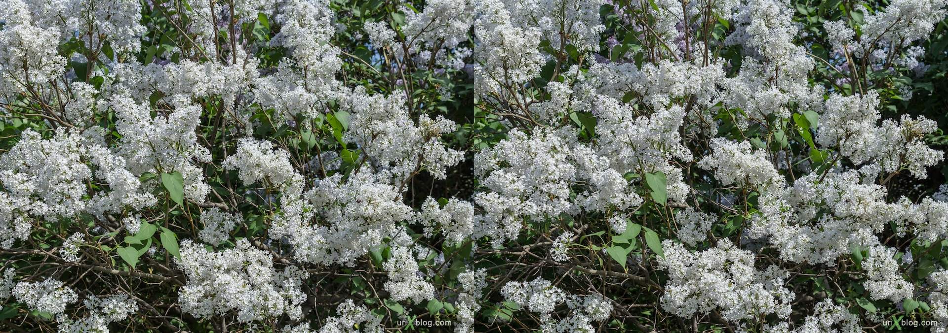2013, Lilac tree, flower, grass, park, field, Moscow, Russia, spring, 3D, stereo pair, cross-eyed, crossview, cross view stereo pair, stereoscopic