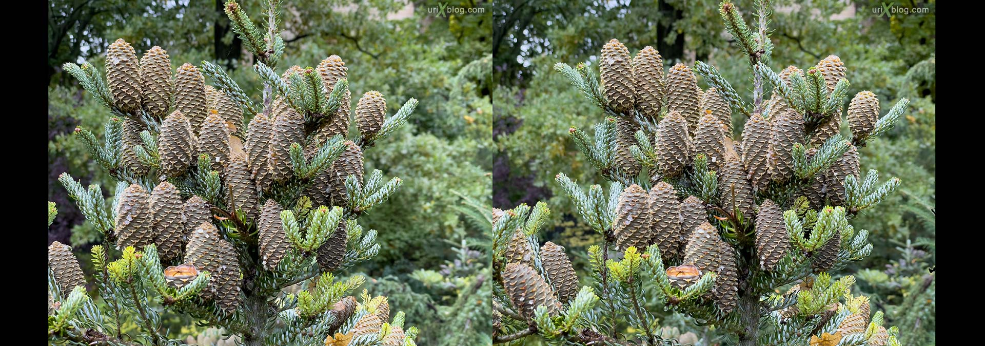 cones, tree, Pharmaceutical Garden, Russia, Moscow, 3D, stereo pair, cross-eyed, crossview, cross view stereo pair, stereoscopic