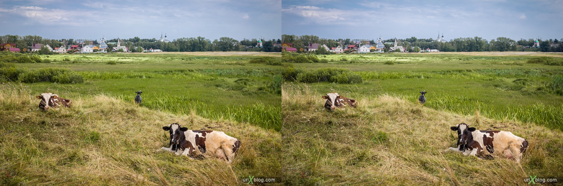 2012 Russia Suzdal Cows stereo 3d