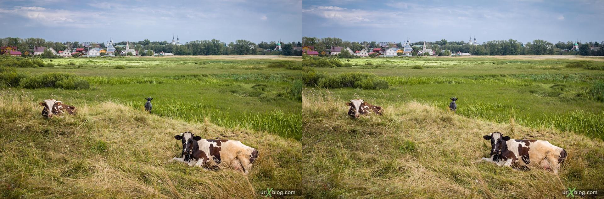 2012 Russia Suzdal Cows stereo 3d