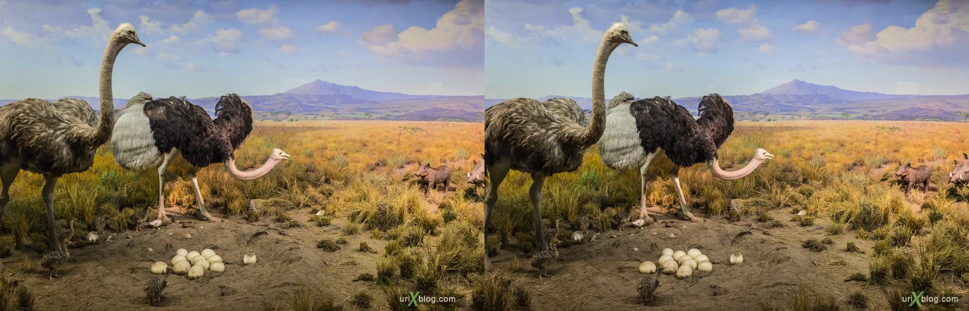 2013, Американский Музей Естественной Истории, Нью-Йорк, США, Скелет, Донозавр, животное, чучело, диарама, 3D, перекрёстные стереопары, стерео, стереопара, стереопары